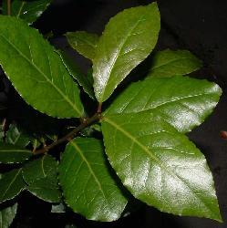 Laurel en hojas Productos para pastas